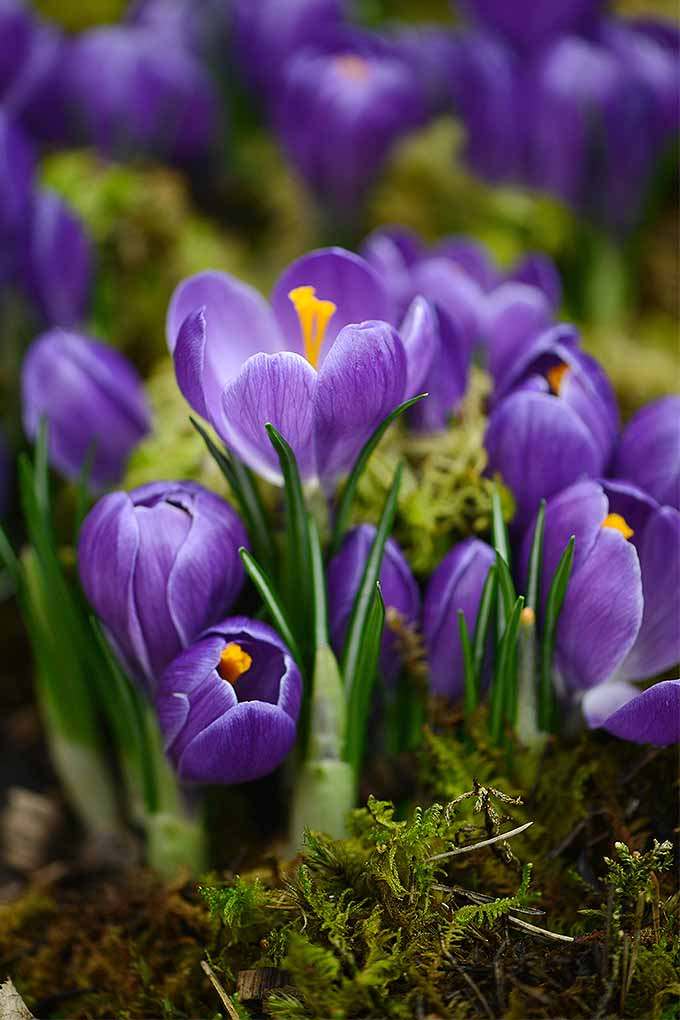 How to grow crocus for spring beauty saffron flavor gardeners path crocuses are a welcome sign of spring in the northeast and others love fall mightylinksfo