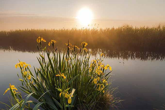 Yellow irises growing near a body of water | GardenersPath.com