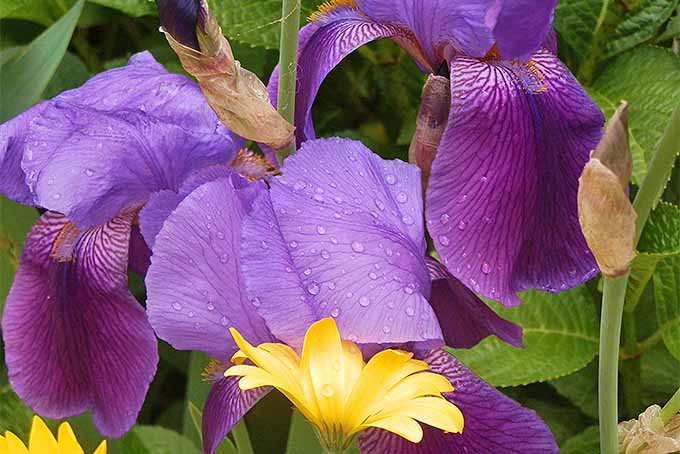 Grow irises with flowers of contrasting colors | GardenersPath.com