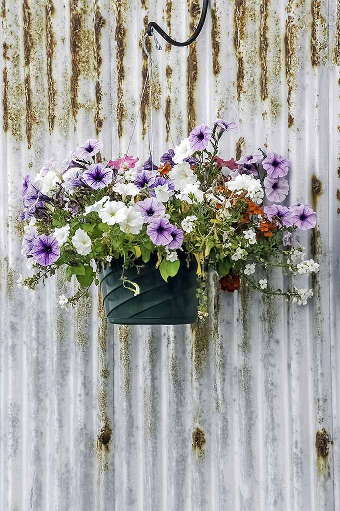 Petunias make a lovely addition to summertime containers and hanging baskets. We share our tips for success in the garden: https://gardenerspath.com/plants/flowers/grow-petunias/