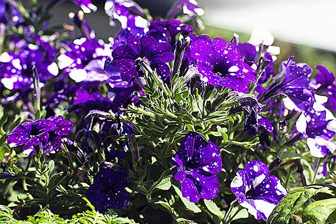 Grow Petunias in the Garden | GardenersPath.com