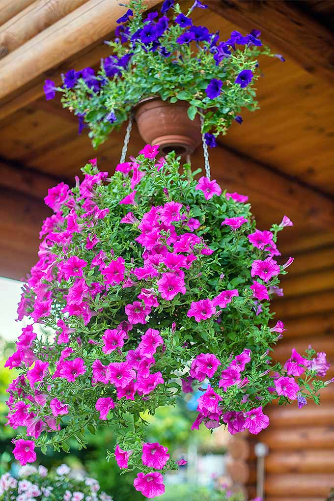 Brighten up those hanging planters with popular petunias- and learn how to grow them with our tips: https://gardenerspath.com/plants/flowers/grow-petunias/