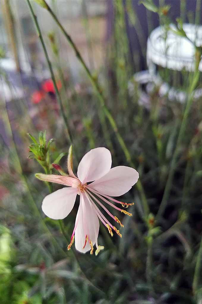 Gaura's butterfly-like blooms make an attractive addition to the garden. But when should you cut them back? Read our guide to spring and fall perennial pruning: https://gardenerspath.com/how-to/pruning/fall-spring-perennial-cutbacks/