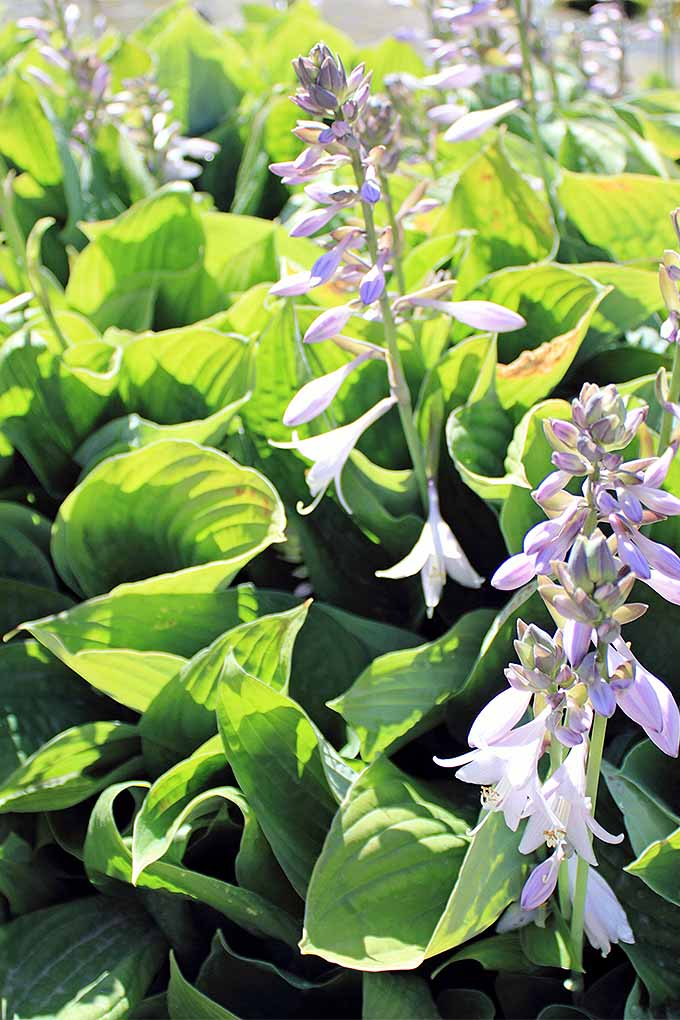 When your hostas are past their peak and the blooms are finished, should you cut them back or wait until spring? Read our guide to seasonal perennial cutbacks now, or Pin It for later: https://gardenerspath.com/how-to/pruning/fall-spring-perennial-cutbacks/