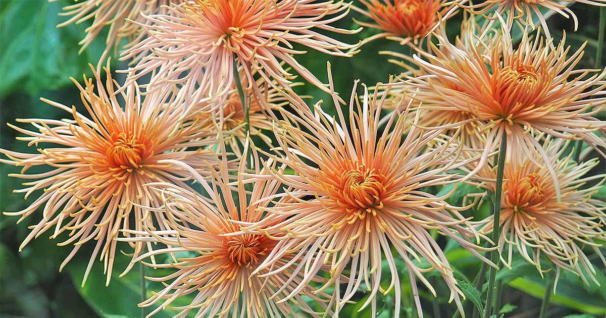 Chrysanthemums – A Late Season Dazzler
