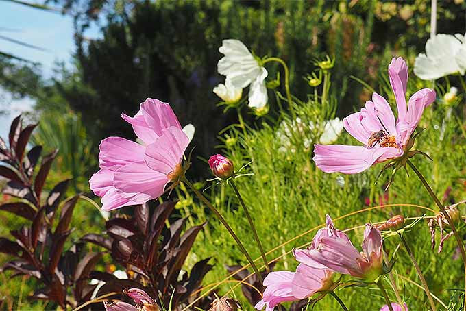 How to Grow Cosmos | GardenersPath.com