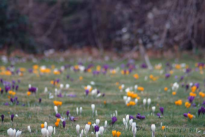 Grow white, purple, and yellow crocuses. | GardenersPath.com