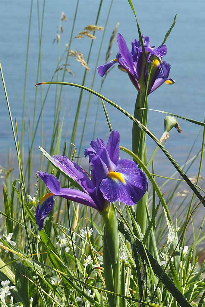 Purple and yellow Dutch irises love to grow near water. Want to add them to your landscape? Read more now, or Pin It for later: https://gardenerspath.com/plants/flowers/grow-iris/