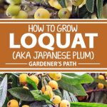A collage of photos showing different views of loquat trees bearing fruit.