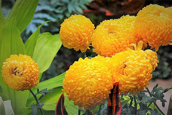 Yellow pompom mums | GardenersPath.com
