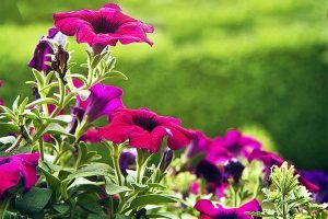 Popular Petunia Adds a Punch of Color