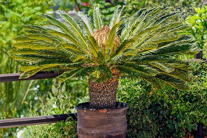 How to Grow Sago Palm | GardenersPath.com