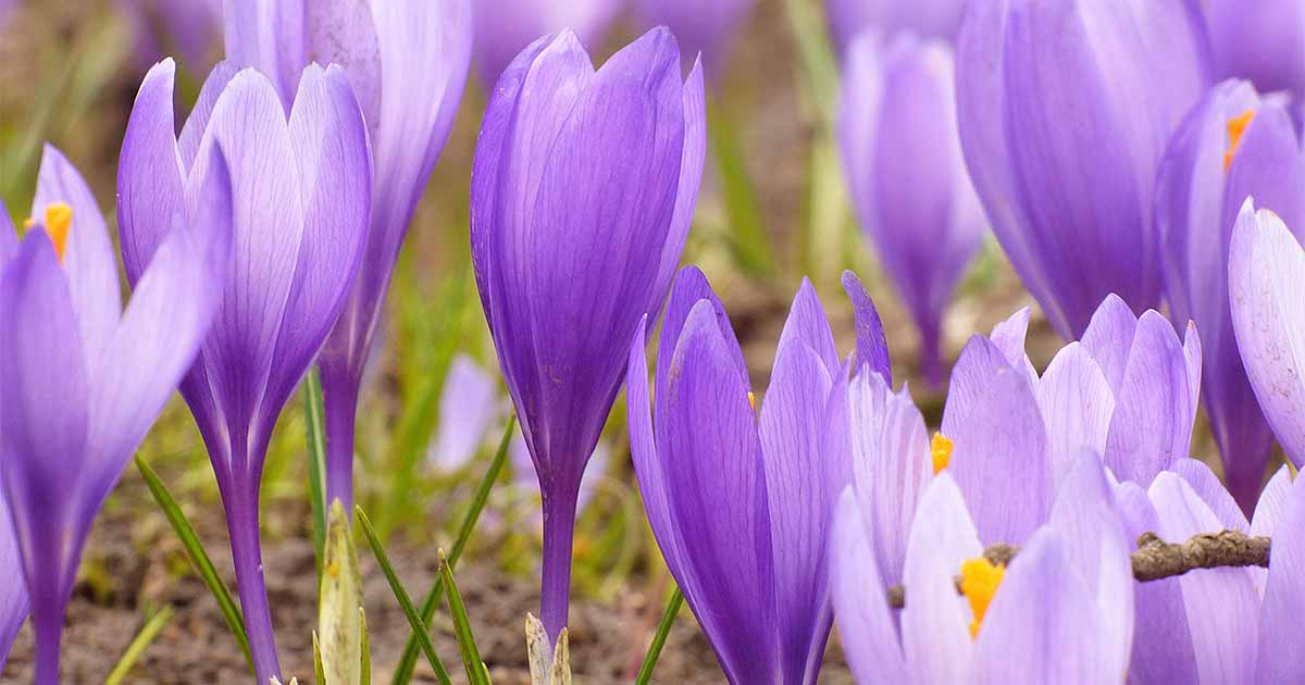 7232deb85 A Sign of Spring and a Taste of Luxury  How to Grow Crocuses