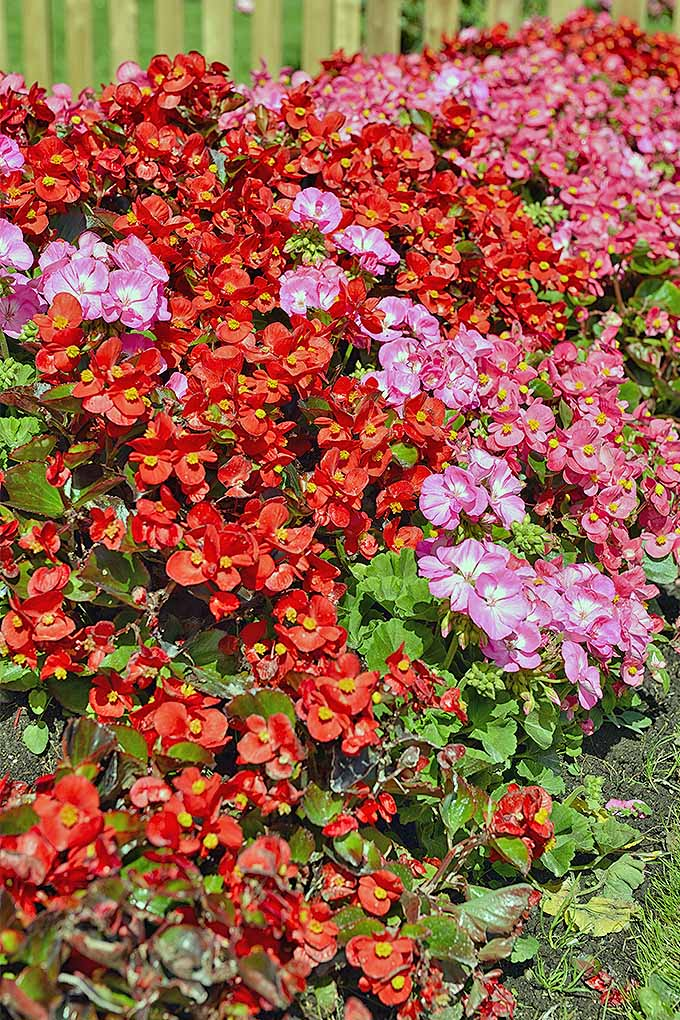 Wax begonias are a gorgeous annual that's easy to grow. We share our tips: https://gardenerspath.com/plants/flowers/grow-wax-begonias/