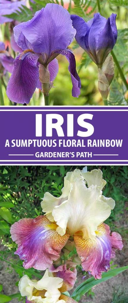 With an elegant form, sumptuous colors, a delicate fragrance, and elaborate blossoms, the iris is a delightful specimen of early summer. Named after a goddess and used as a symbol of royalty, this gorgeous flower is easy to grow and multiplies readily. Join us now for a closer look at how to enjoy this divine beauty in your own garden!