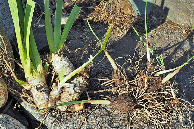 Iris rhizomes and bulbs | GardenersPath.com