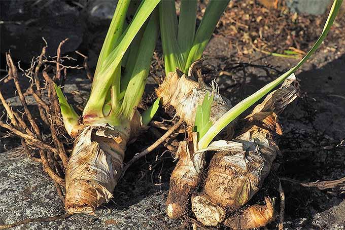I. germanica rhizomes | GardenersPath.com