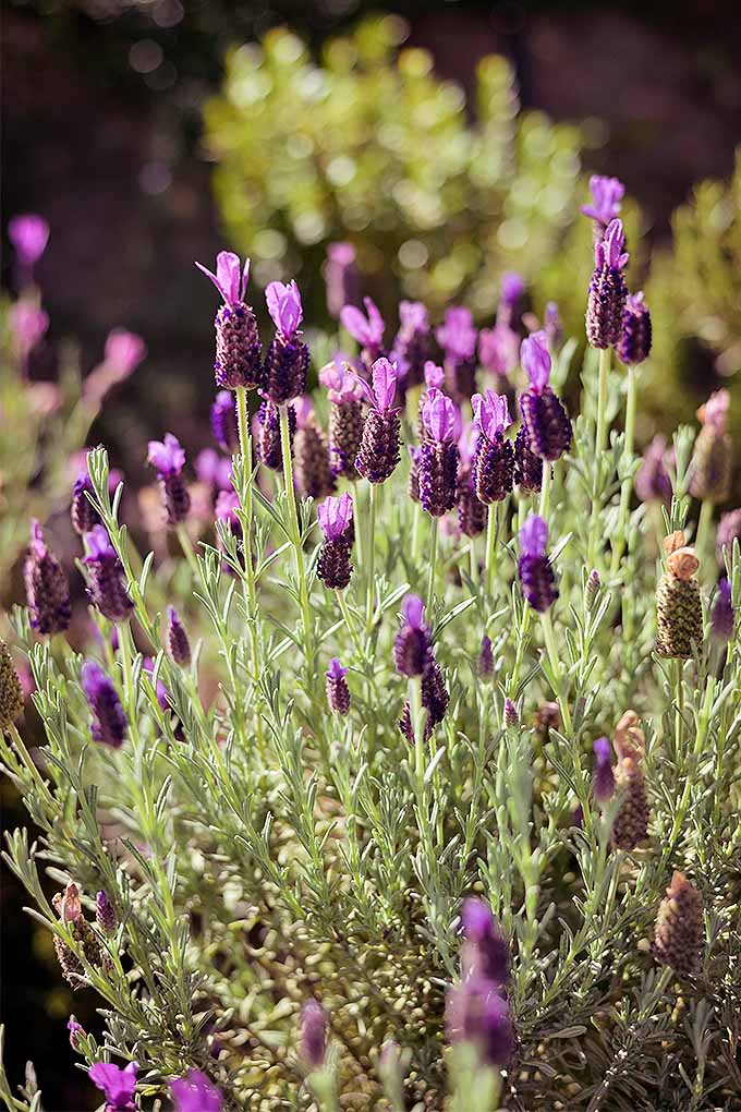 Planning your garden calendar? Check out our guide to find out when you should cut back lavender, and other perennials: https://gardenerspath.com/how-to/pruning/fall-spring-perennial-cutbacks/