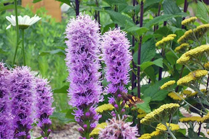 Liatris Pruning | GardenersPath.com
