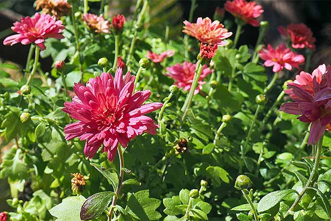 Lots of sun and well-draining soil are best for mums | GardenersPath.com