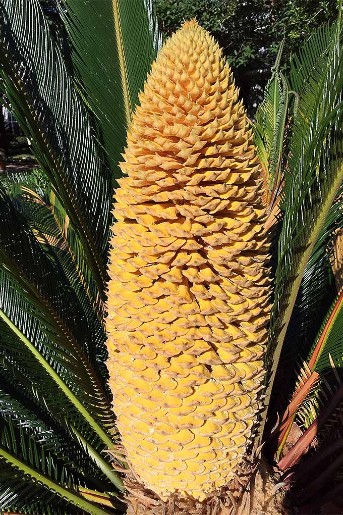 Want to grow sago palm? You might be surprised to discover that it isn't really a palm at all! Read more: https://gardenerspath.com/plants/ornamentals/grow-sago-palm/ #sago #sagopalm #gardening