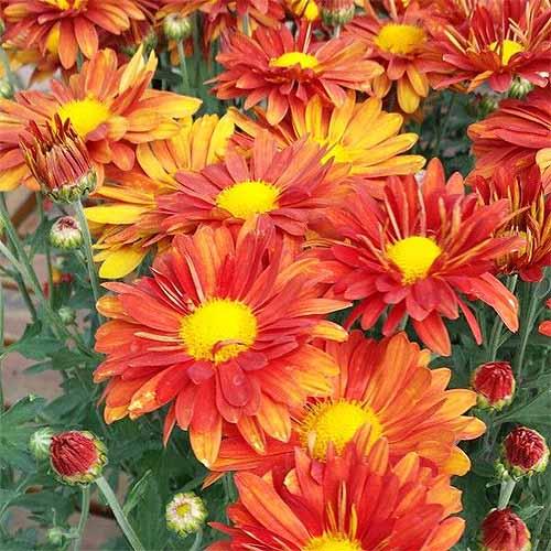 'Mammoth Red Daisy' Mums | GardenersPath.com