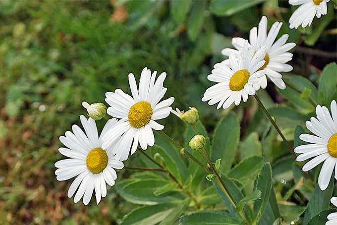 Montauk Daisies Pruning Guide | GardenersPath.com