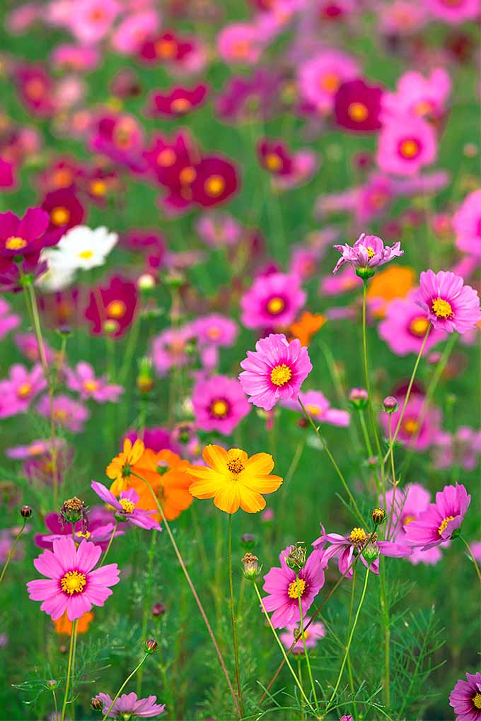 A field of orange, pink, red, and white cosmos flowers in bloom.