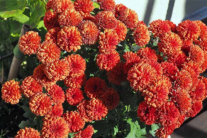 Emphasize the autumn color palette in the garden with mums | GardenersPath.com
