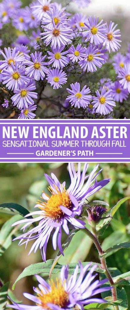 A collage of photos showing various views of New England Aster flowers in bloom.
