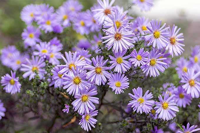 New England Asters for the Perennial Garden | GardenersPath.com