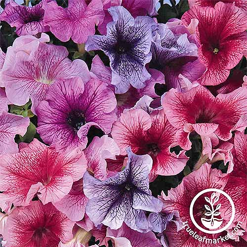 Petunia 'Daddy' Series Pelleted Mix | GardenersPath.com