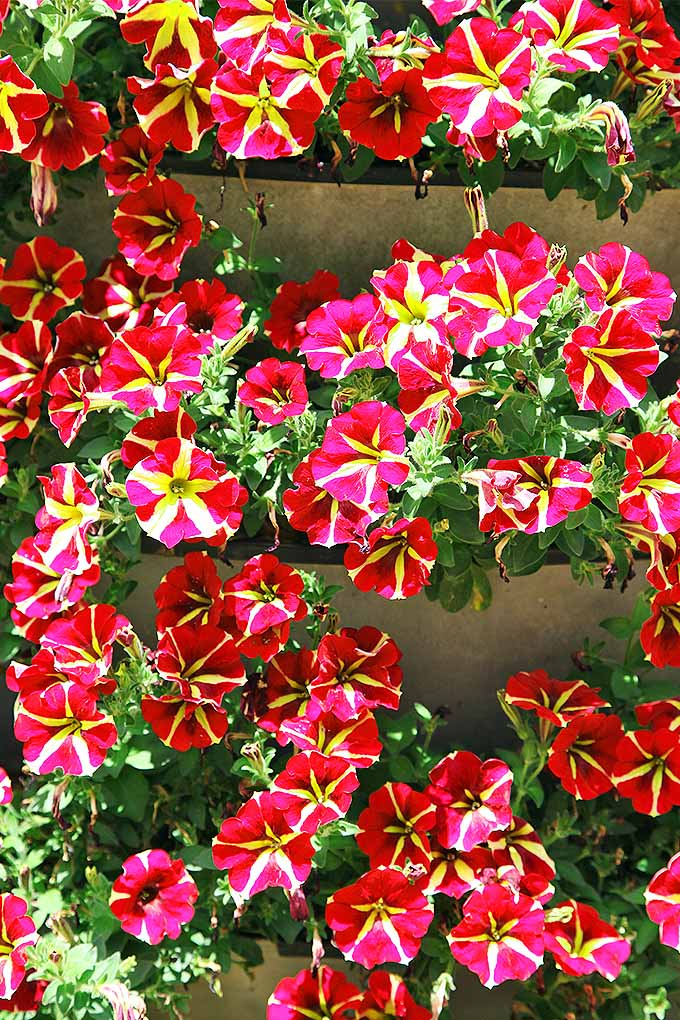 Add a splash of annual color to the fall garden with petunias- we share our tips for growing success: https://gardenerspath.com/plants/flowers/grow-petunias/