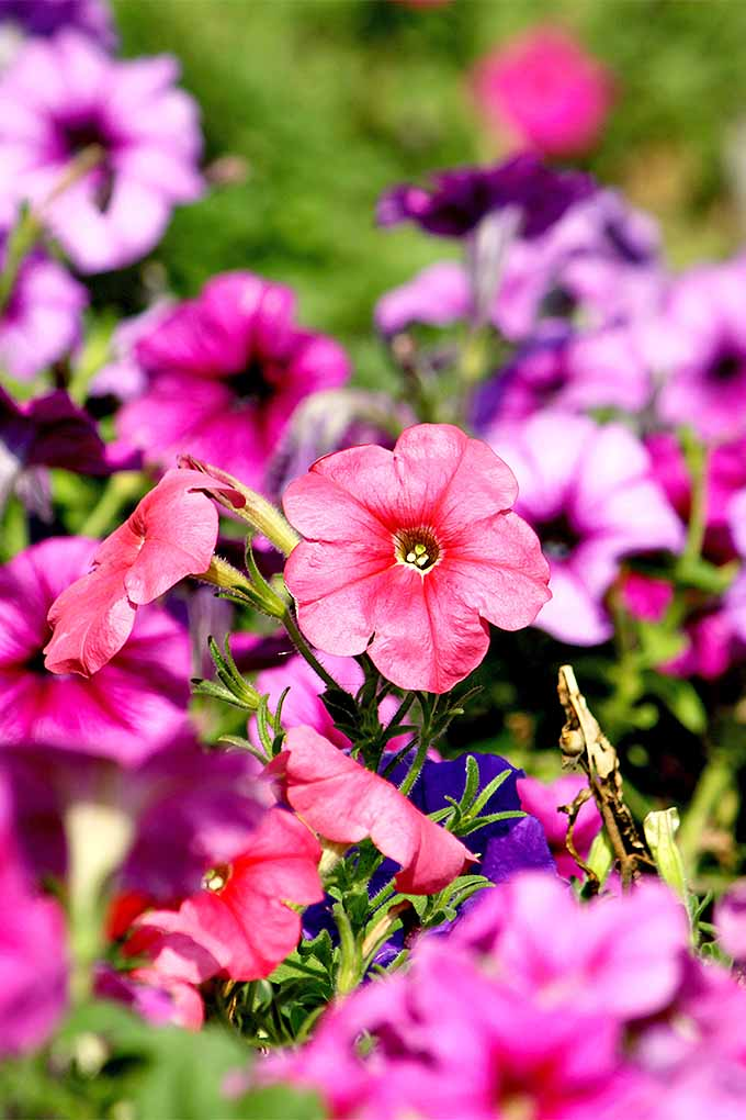 Celebrate summer with colorful petunias: https://gardenerspath.com/plants/flowers/grow-petunias/