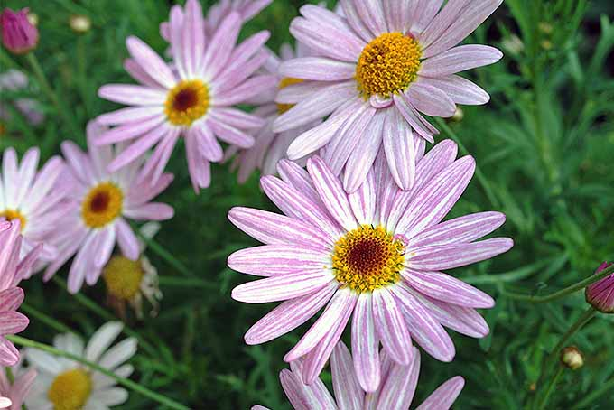 A close up horizontal image of pink pyrethrum flowers growing in the garden with foliage in soft focus in the background.
