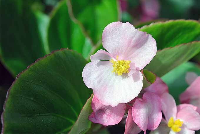 Pink Wax Begonia | GardenersPath.com
