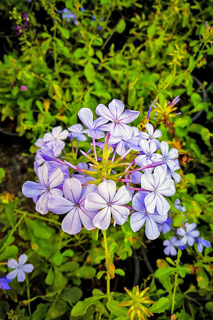 When the beautiful blue blooms of plumbago fade, should you cut them back? Hone your perennial pruning knowledge with our guide: https://gardenerspath.com/how-to/pruning/fall-spring-perennial-cutbacks/