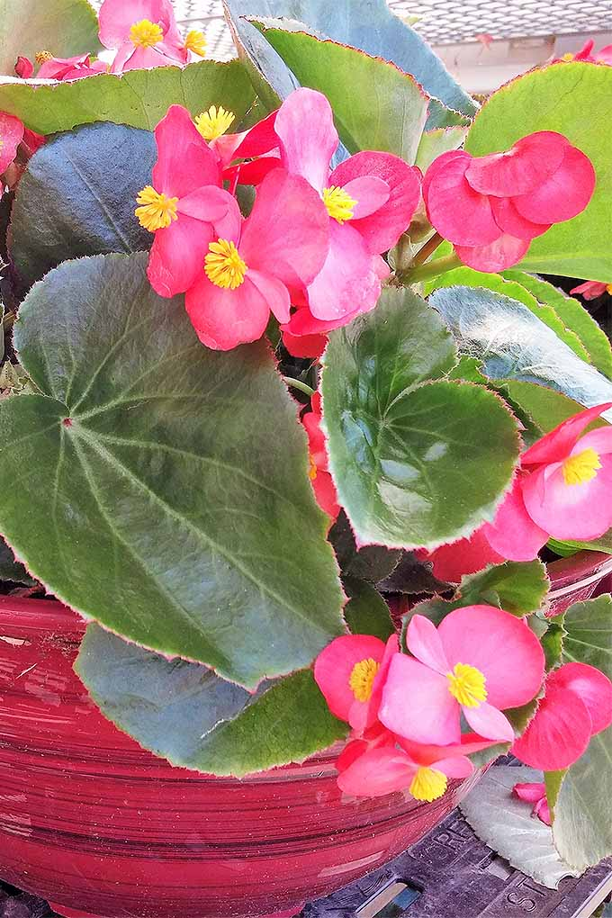 Wax begonias make an excellent addition to container gardens and flowers beds. We share our tips for growing success: https://gardenerspath.com/plants/flowers/grow-wax-begonias/