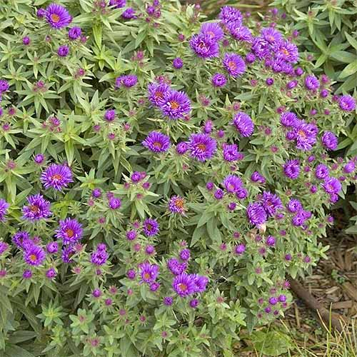 'Purple Dome' New England Aster | GardenersPath.com