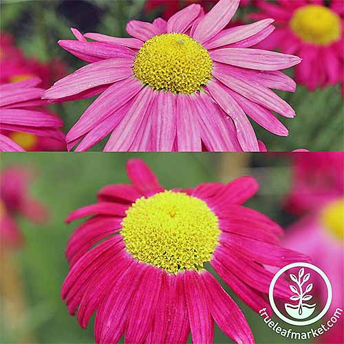 A close up collage of two pictures one on top of the other of pink flowers with yellow centers growing in the garden. To the bottom right of the frame is a white circular logo with text.