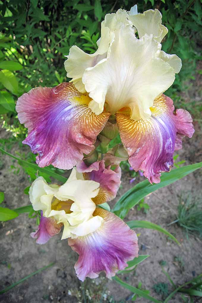 A stunning specimen, the beardless rainbow iris is a riot of color - and it can be yours! Learn more about how to grow them here: https://gardenerspath.com/plants/flowers/grow-iris/