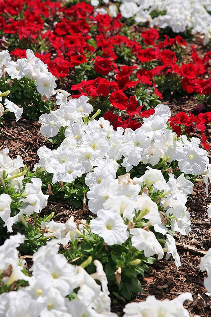 Looking to fill up a spot along the border of your garden beds? Petunias are a popular option! Check out our propagation tips: https://gardenerspath.com/plants/flowers/grow-petunias/