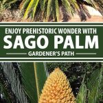A collage of photos showing different views a Sago Palms.