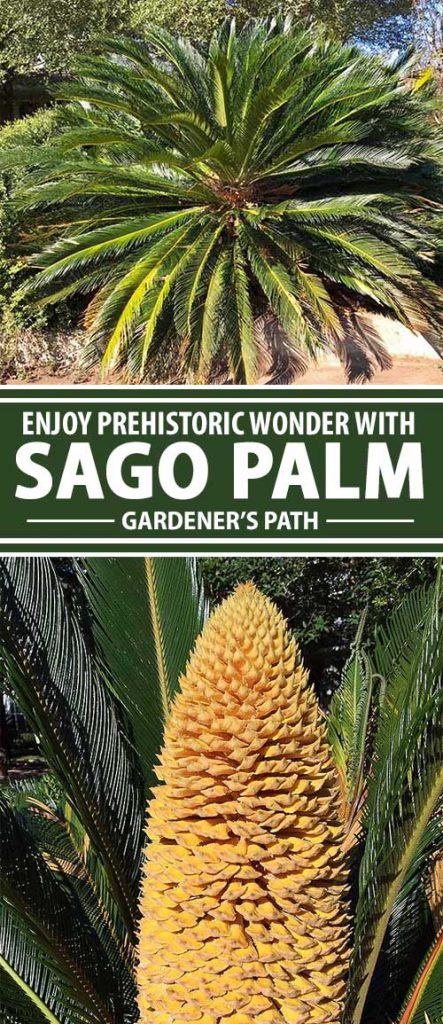 Learn from Gardener's Path how you can add a dose of prehistoric drama to your landscape, home, or patio with sago, an ancient plant from Japan that looks like a palm but is actually related to conifer trees.