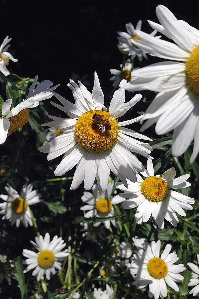 Should Shasta daisies and Montauk daisies be cut back at the same time of year? Find out with our guide to pruning perennials: https://gardenerspath.com/how-to/pruning/fall-spring-perennial-cutbacks/