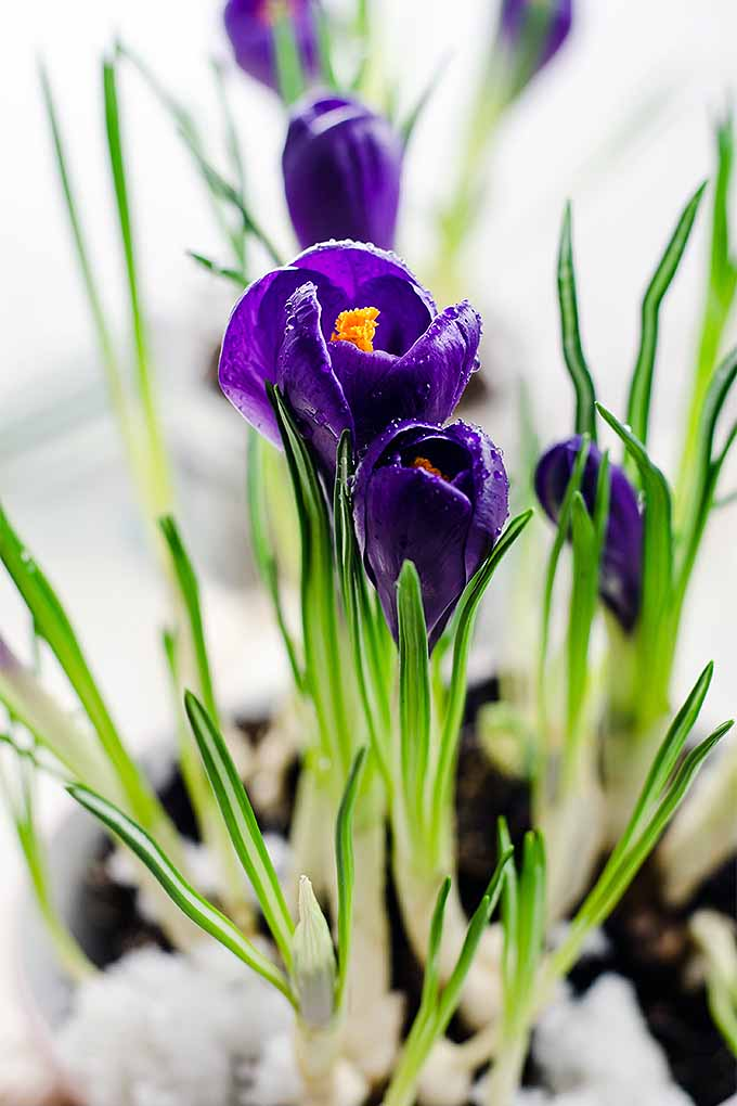 Crocuses are one of the first harbingers of spring- we'll teach you how to grow them: https://gardenerspath.com/plants/flowers/grow-crocus/