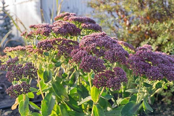 Purple stonecrop | GardenersPath.com