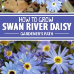 A collage of photos showing different views of Swan River Daisies in bloom.