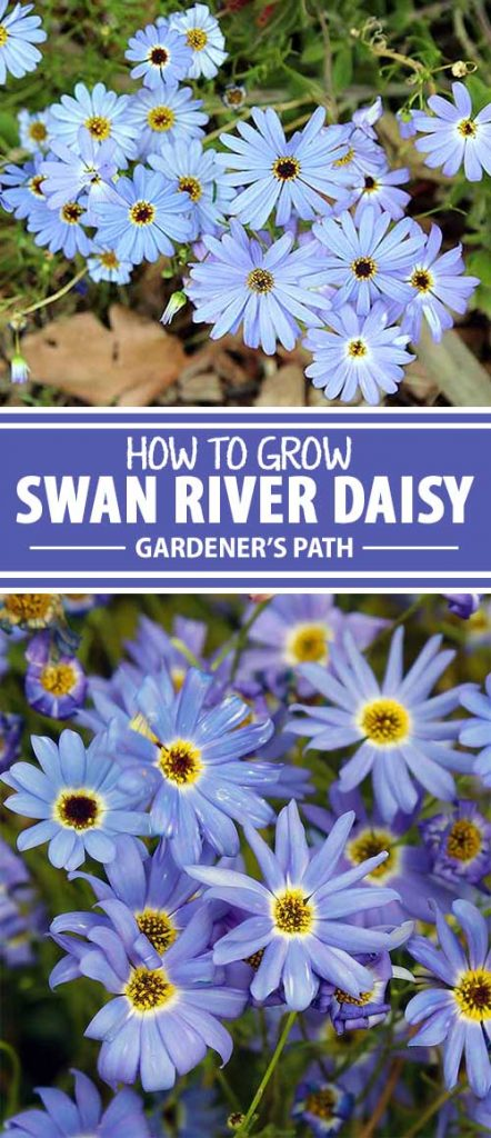 Looking for some blues to add cheerfulness to your landscape? Now on Gardener's Path, get information and growing tips for Australian import swan river daisy, whose fragrant and plentiful indigo blooms will add happiness to your garden all summer long.