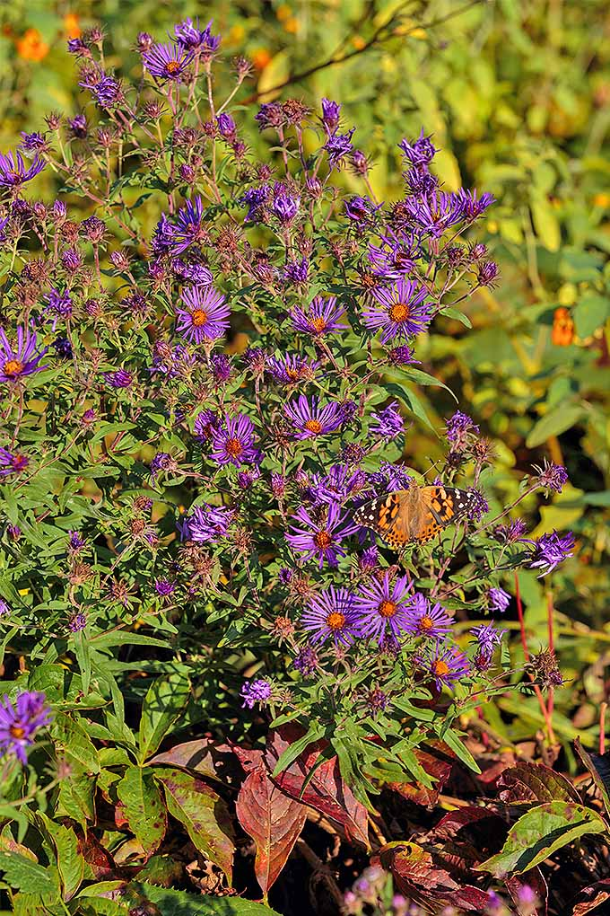 Excellent for attracting pollinators, we share our tips for growing New England asters in the garden: https://gardenerspath.com/plants/flowers/grow-new-england-aster/